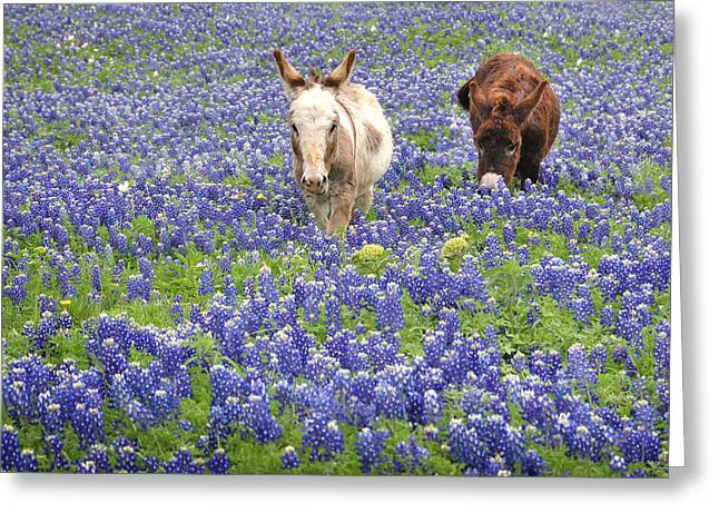 Texas Wild Flowers Greeting Cards - Texas Donkeys and Bluebonnets - Texas Wildflowers Landscape Greeting Card by Jon Holiday