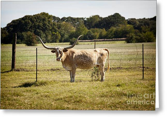Cows Framed Prints Greeting Cards - Texas Longhorn Cow Next to a Fence in a Field in Color 3103.02 Greeting Card by M K  Miller