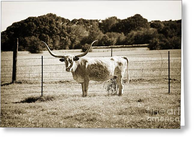 Cows Framed Prints Greeting Cards - Texas Longhorn Cow Next to a Fence in a Field in Sepia 3103.01 Greeting Card by M K  Miller