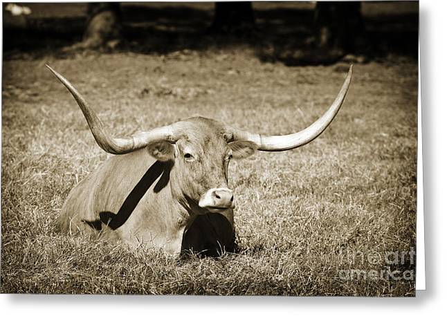 Cows Framed Prints Greeting Cards - Texas Longhorn Cow Sitting in a Field in Sepia 3101.01 Greeting Card by M K  Miller