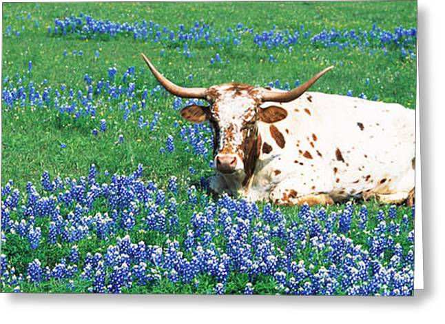 Texas Longhorn Cow Greeting Cards - Texas Longhorn Cow Sitting On A Field Greeting Card by Panoramic Images