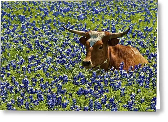 Texas Longhorn In Bluebonnets Greeting Cards - Texas Longhorn II Greeting Card by John Babis