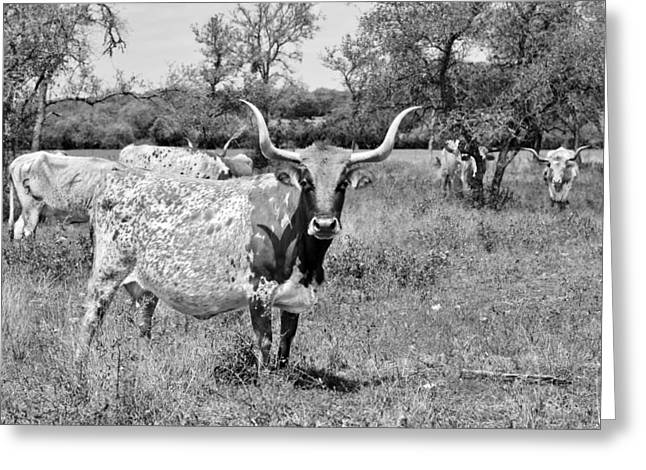 Steer Greeting Cards - Texas Longhorns a Texas Icon Greeting Card by Christine Till