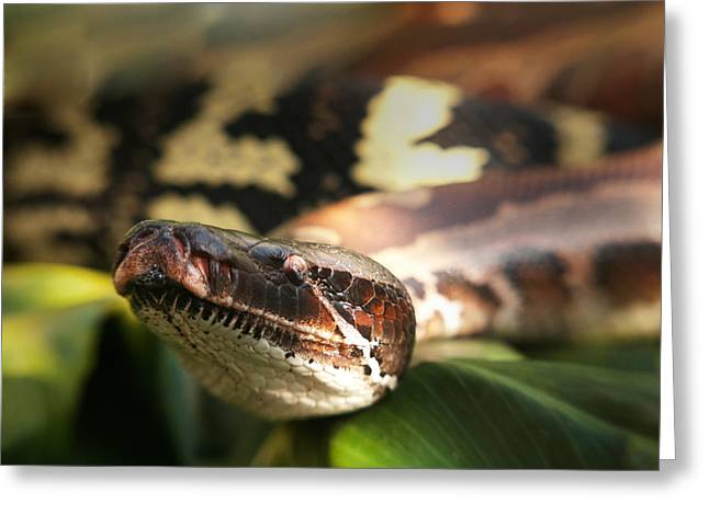 Gift Ideas For Him Greeting Cards - Texas rat snake Greeting Card by Sammy Miller