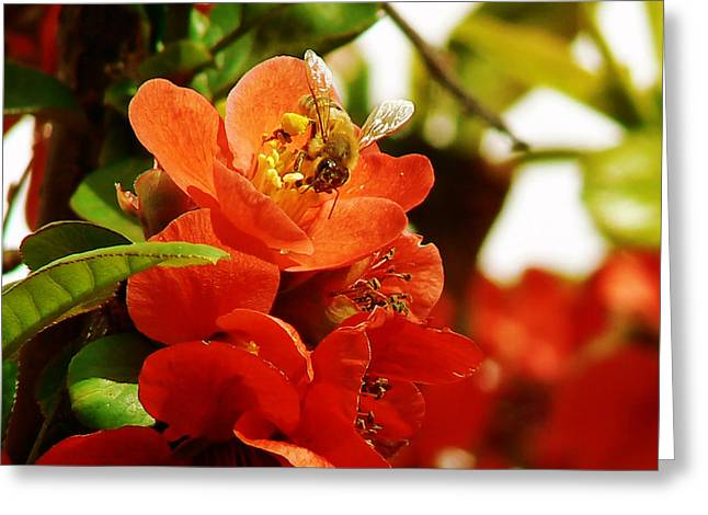Colusa Greeting Cards - Texas Scarlet Flowering Quince Greeting Card by Pamela Patch