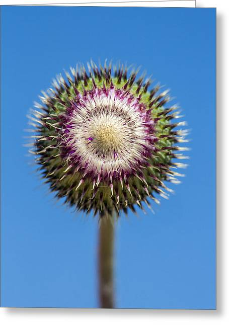 Abstract Nature Greeting Cards - Texas Thistle Bud Greeting Card by Steven Schwartzman