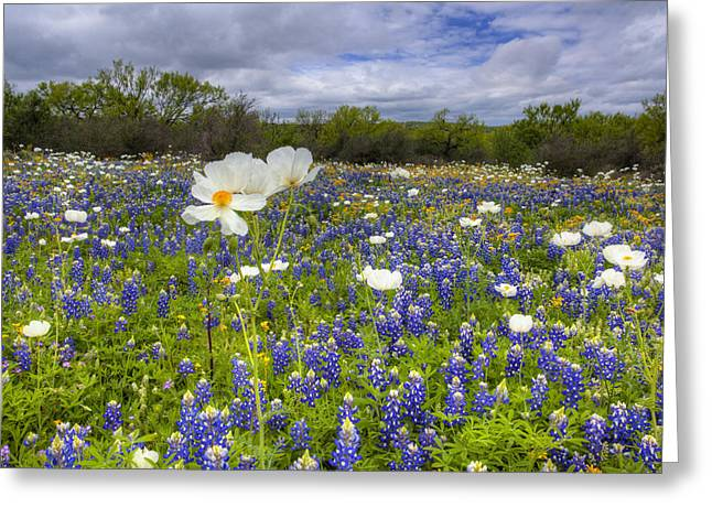 Country Pictures Greeting Cards - Texas Wildflowers - White Poppies in a Field of Bluebonnets 1 Greeting Card by Rob Greebon