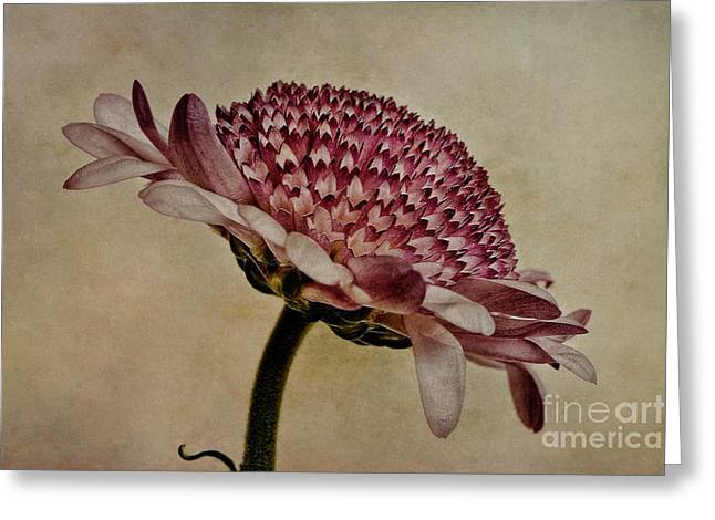 Chrysanthemum Greeting Cards - Textured Mum Greeting Card by John Edwards