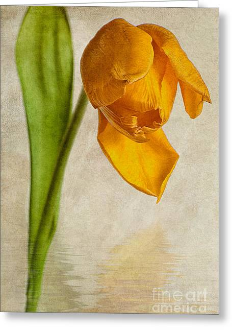 Tulipa Greeting Cards - Textured Tulip Greeting Card by John Edwards