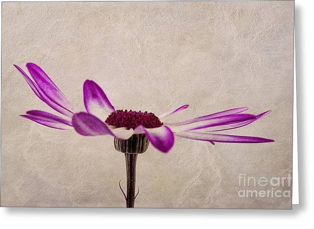 Close Focus Floral Greeting Cards - Texturised Senetti pericallis Greeting Card by John Edwards