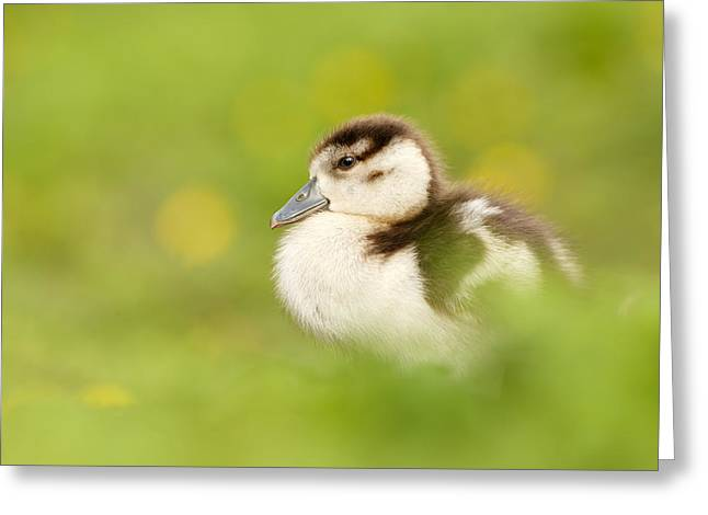 Egyptian Photographs Greeting Cards - The Gosling in the Grass Greeting Card by Roeselien Raimond