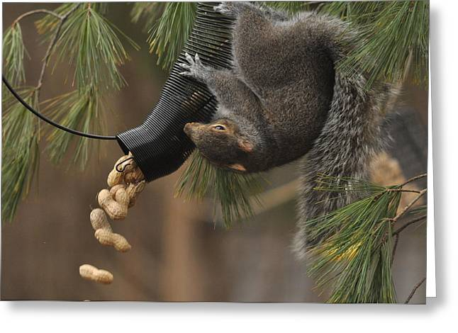 Gray Squirrel Greeting Cards - Thanksgiving Greeting Card by Deborah Bifulco