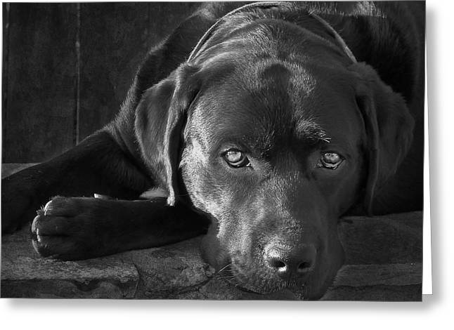White Lab Greeting Cards - That Loving Gaze Greeting Card by Larry Marshall