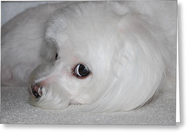 Sleeping Maltese Greeting Cards - That Puppy Look Greeting Card by Mary Beth Landis