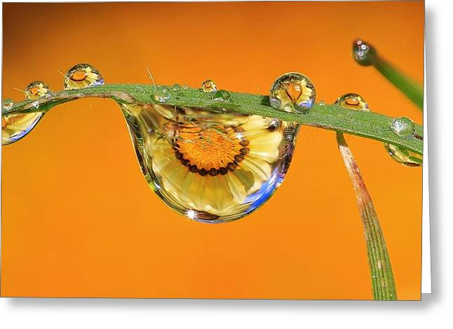 Dewdrops Greeting Cards - The African Daisey Greeting Card by Gary Yost