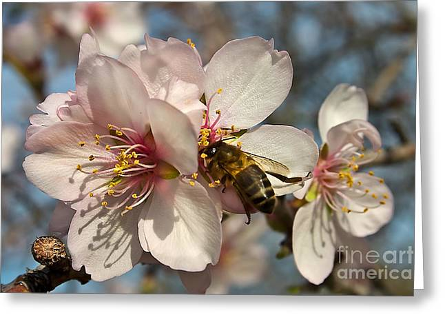 The Almond Blossom Greeting Card by English Landscapes
