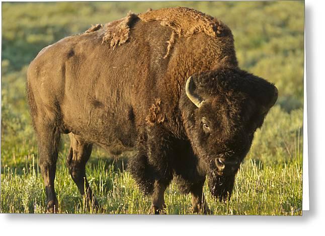 Buffalo Pyrography Greeting Cards - The American buffalo Greeting Card by Pedro Delmas
