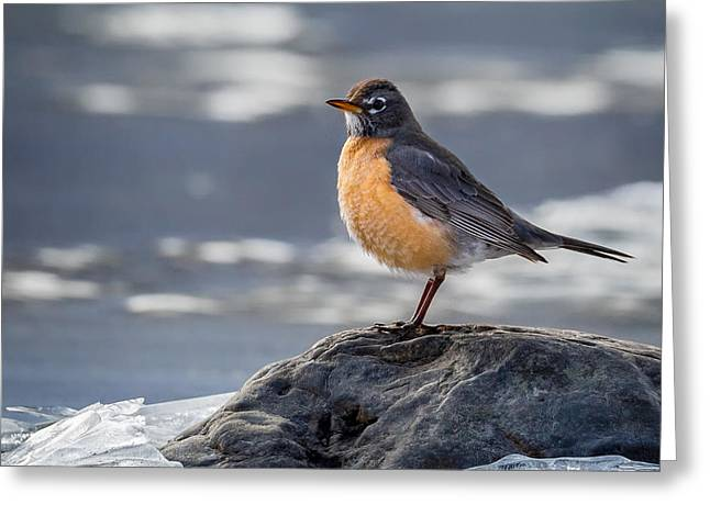 American Robin Greeting Cards - The American Robin Square Greeting Card by Bill  Wakeley