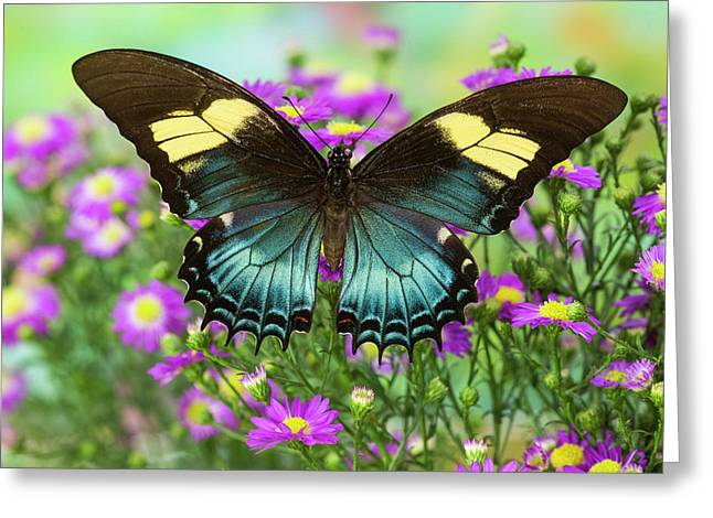The Androgeus Swallowtail, Queen Page Greeting Card by Darrell Gulin