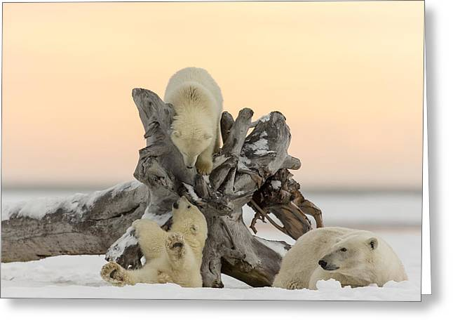 Wildlife Refuge. Greeting Cards - The Arctic Playground Greeting Card by Tim Grams