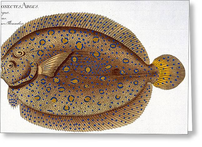 Angling Drawings Greeting Cards - The Argus Flounder Greeting Card by Andreas Ludwig Kruger