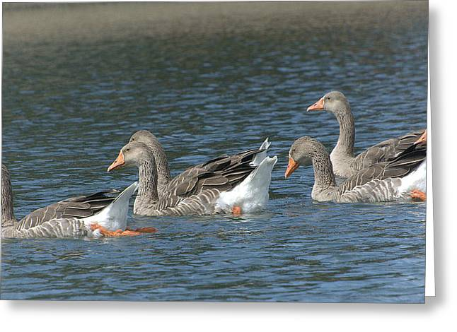 Greylag Greeting Cards - The Athletic Department Greeting Card by Fraida Gutovich