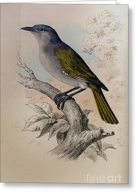 Wild Life Drawings Greeting Cards - The Auk -  Ligea Palustris Greeting Card by Celestial Images