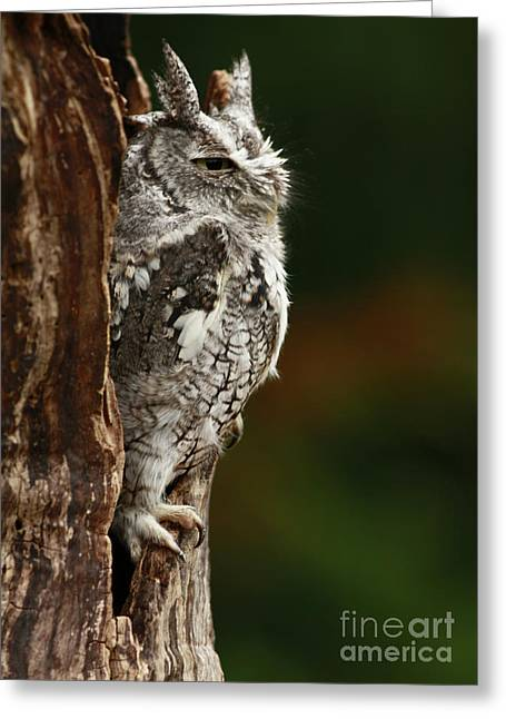 Shelley Myke Greeting Cards - The Awakening Eastern Screech Owl Greeting Card by Inspired Nature Photography By Shelley Myke