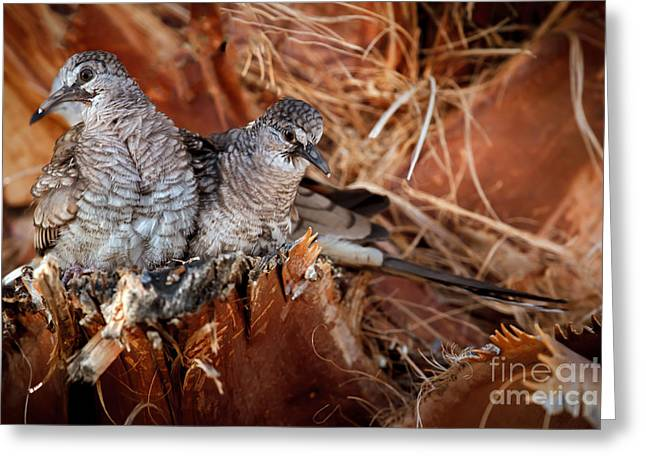 Haybale Greeting Cards - The Baby Inca Doves Greeting Card by Robert Bales