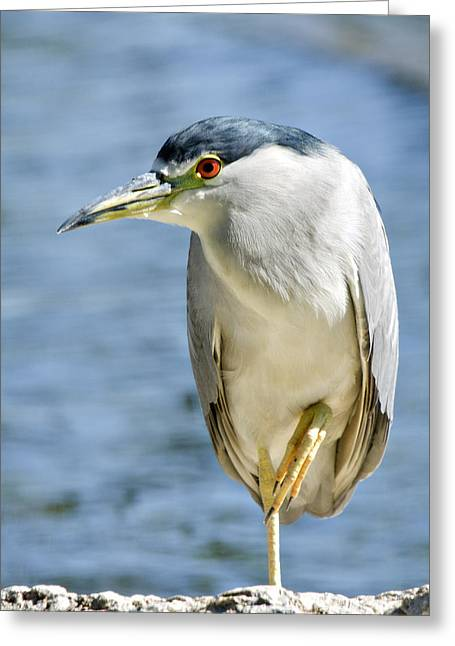 Crowned Heron Greeting Cards - The Balancing Act  Greeting Card by Saija  Lehtonen