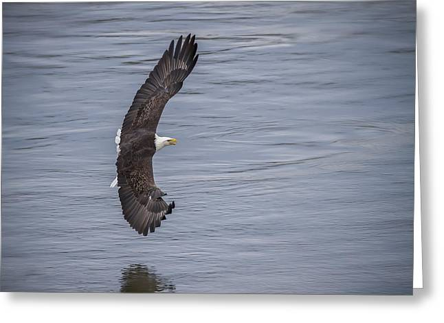 Hungry Fly Greeting Cards - The Bald Eagle Greeting Card by Eduard Moldoveanu