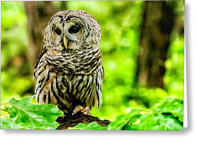 Wildlife Refuge. Greeting Cards - The Barred Owl Greeting Card by Louis Dallara