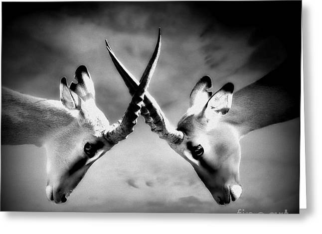 Wildlife Photography Greeting Cards - The Battle Greeting Card by Photodream Art