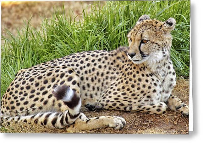 Jmpolitte Greeting Cards - The Beautiful Cheetah Greeting Card by Jason Politte