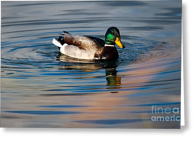 Haybales Greeting Cards - The Beautiful Mallard Greeting Card by Robert Bales