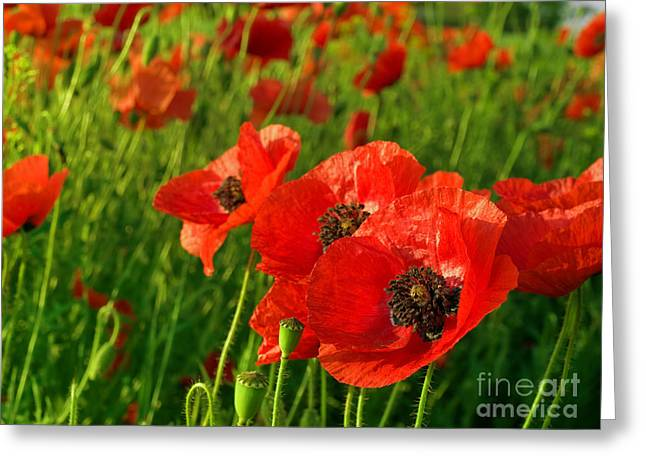 Shop Pyrography Greeting Cards - The Beautiful Red Poppies Greeting Card by Boon Mee