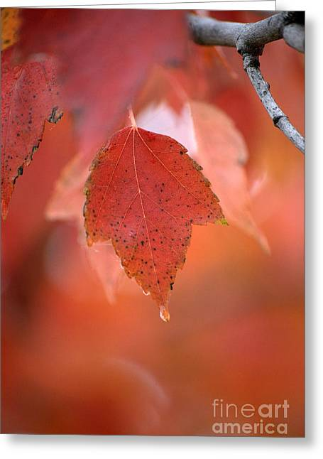 Fall Trees Greeting Cards - The Beauty of Fall Greeting Card by Sharon Elliott