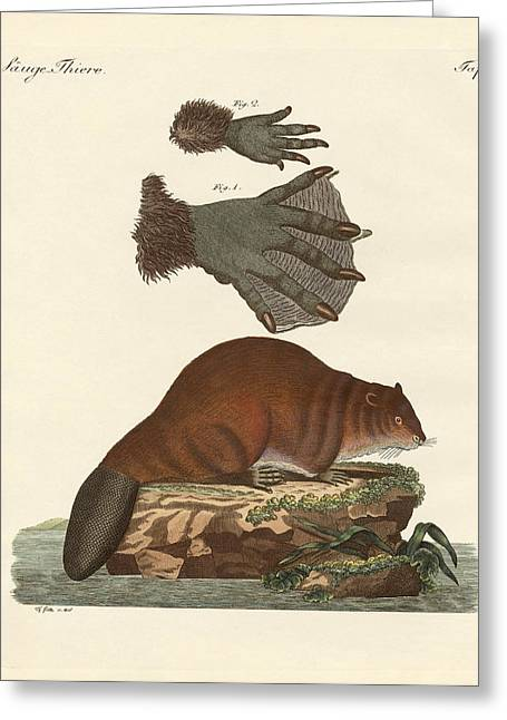Beaver Drawings Greeting Cards - The beaver Greeting Card by Splendid Art Prints