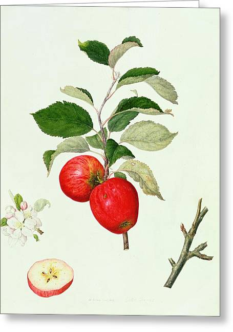 Engraving Greeting Cards - The Belle Scarlet Apple Greeting Card by Barbara Cotton
