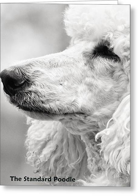 Best Stock Photos Greeting Cards - The Beloved Poodle Greeting Card by Lisa  DiFruscio