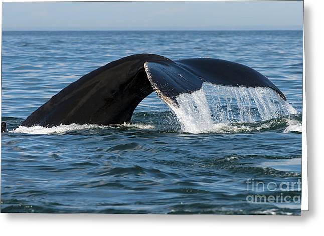Ocean Mammals Greeting Cards - The Big Blue in the Bigger Blues... Greeting Card by Nina Stavlund