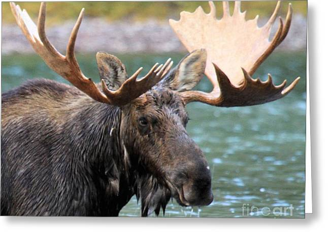 Moose In Water Greeting Cards - The Big Rack Greeting Card by Adam Jewell
