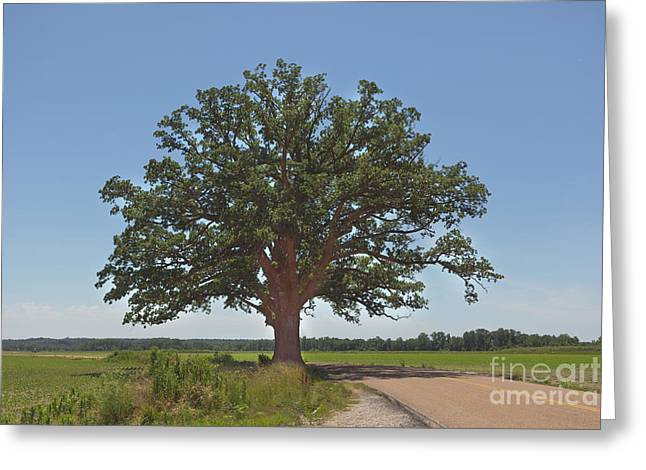 Burr Greeting Cards - The Big Tree Greeting Card by Kay Pickens