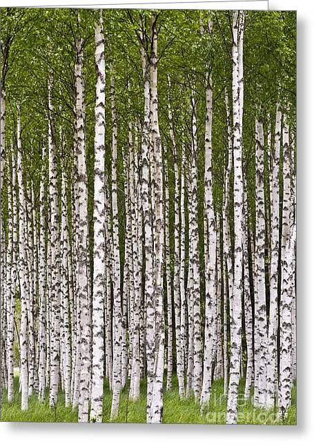 The Birch Wood Greeting Card by Heiko Koehrer-Wagner