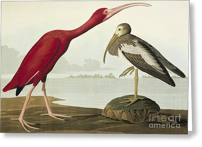 Aquatint Greeting Cards - The Birds of America Greeting Card by Celestial Images