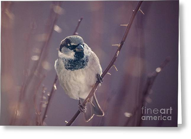 Full-length Portrait Greeting Cards - The Black Throat Sparrow Greeting Card by Janice Rae Pariza