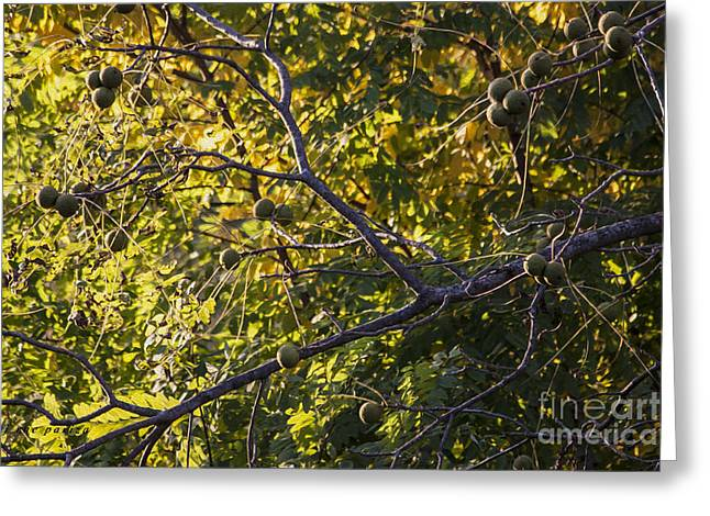 Walnut Tree Photograph Greeting Cards - The Black Walnut Tree Greeting Card by Janice Rae Pariza