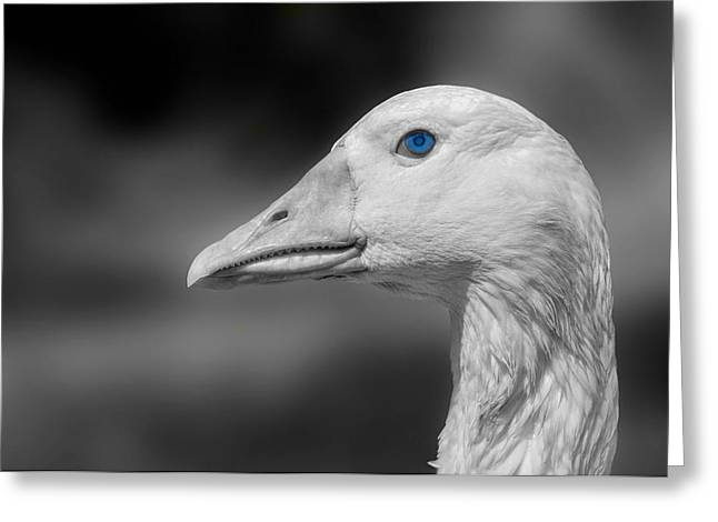 Geese Greeting Cards - The Bluest Blue Greeting Card by Mountain Dreams