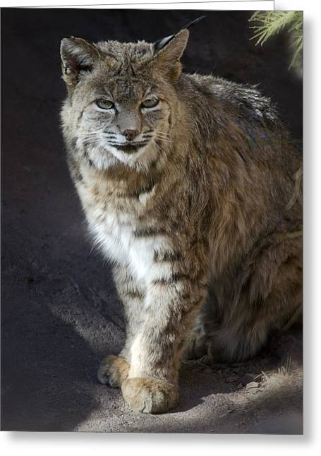 Bobcats Greeting Cards - The Bobcat Greeting Card by Saija  Lehtonen