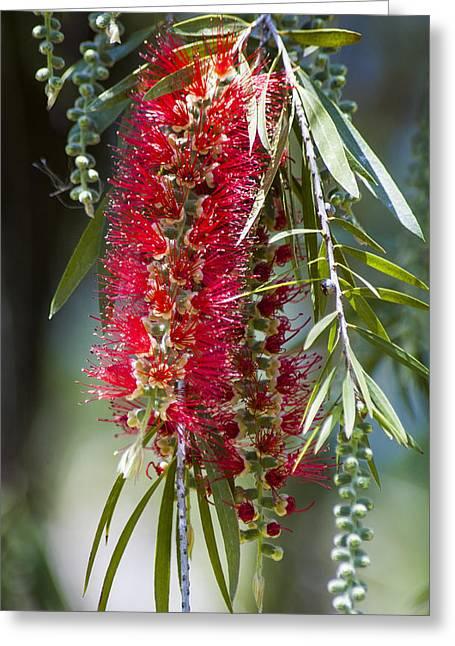 Eureka Springs Greeting Cards - The Bottlebrush Tree Greeting Card by Carolyn Marshall
